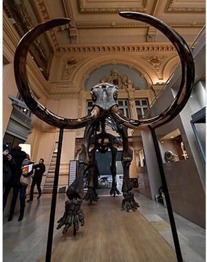 巨型长毛猛犸象遗骨化石落槌 成交价格428万元