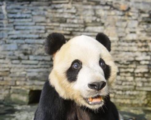 熊猫鹏鹏不治身亡 因脑炎症状继发癫痫死亡