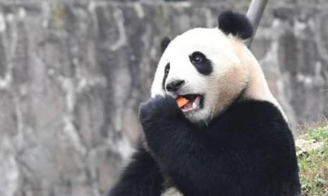 马来西亚海归大熊猫暖暖亮相 最喜欢家乡吃胡萝卜