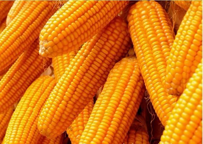 昨日美国玉米现货价格窄幅涨跌互现