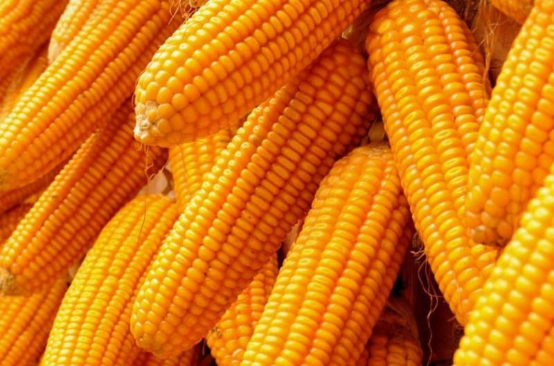 玉米价格继续上涨 各地区最新玉米收购价