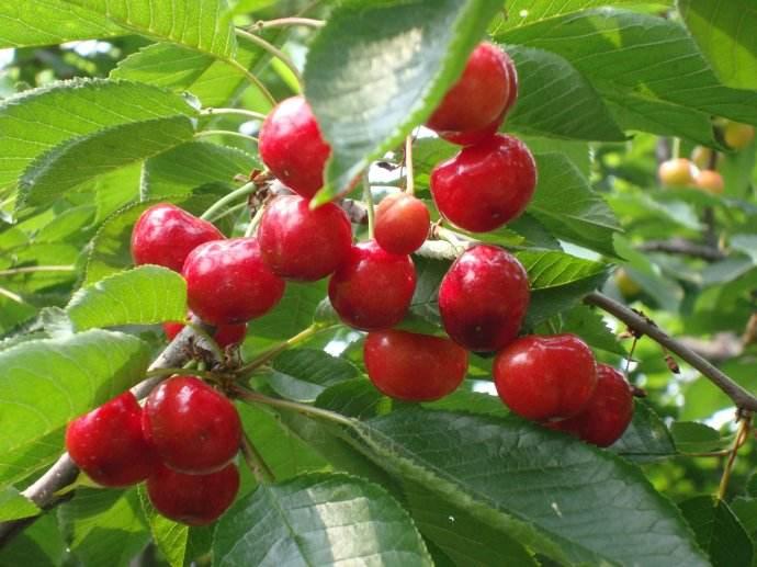 智利向中国出口樱桃数量大幅增加 超过12.5万吨