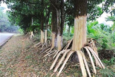 海南162棵树遭剥皮 多数树木将难逃枯死的厄运