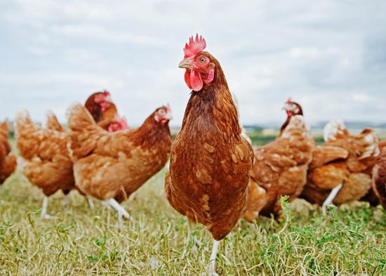 笼养鸡蛋当土鸡蛋卖 沃尔玛在美被控误导消费者