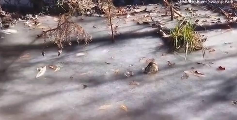 """专家指出,鳄鱼几乎本能地知道池塘何时结冰,一般都可平安地在冰塘中活下来。在一些较极端的例子中,它们甚至会被""""冰封""""数天之久,融冰时才重获自由。"""
