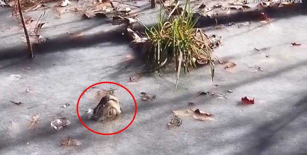 鳄鱼在湖中被冻冰