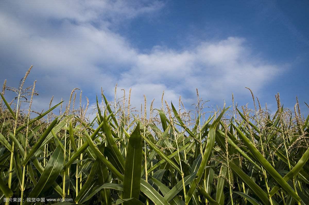 玉米的生长环境分析