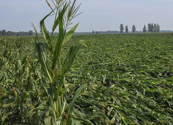 玉米倒伏的原因是什么?如何防止玉米倒伏?