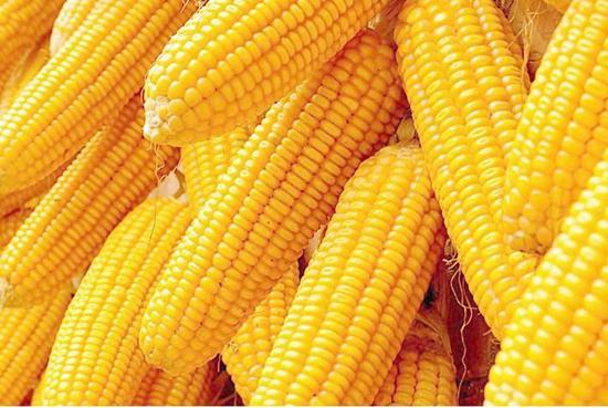玉米期货行情持续火爆 或面临回调风险