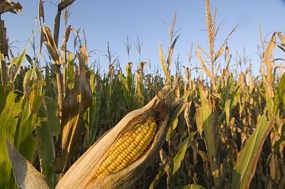 港口玉米收购价高位回落 玉米期货将重回振荡区间