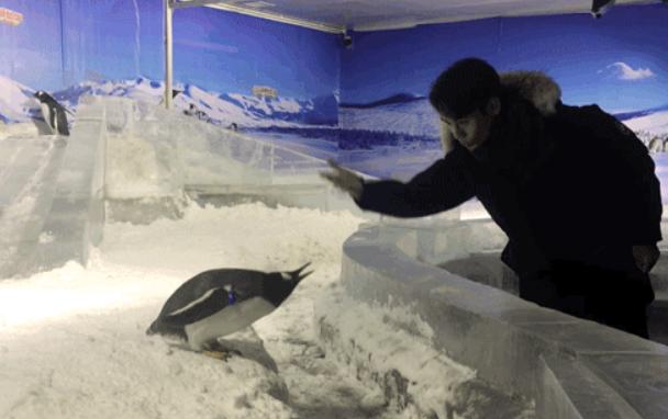王凯追企鹅跑 网友:谜一样的三十五岁中年男子