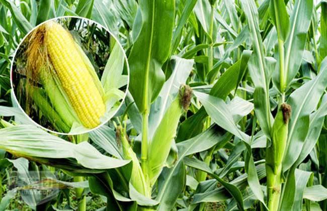 今日(2018年1月17日)全国最新玉米市场价格