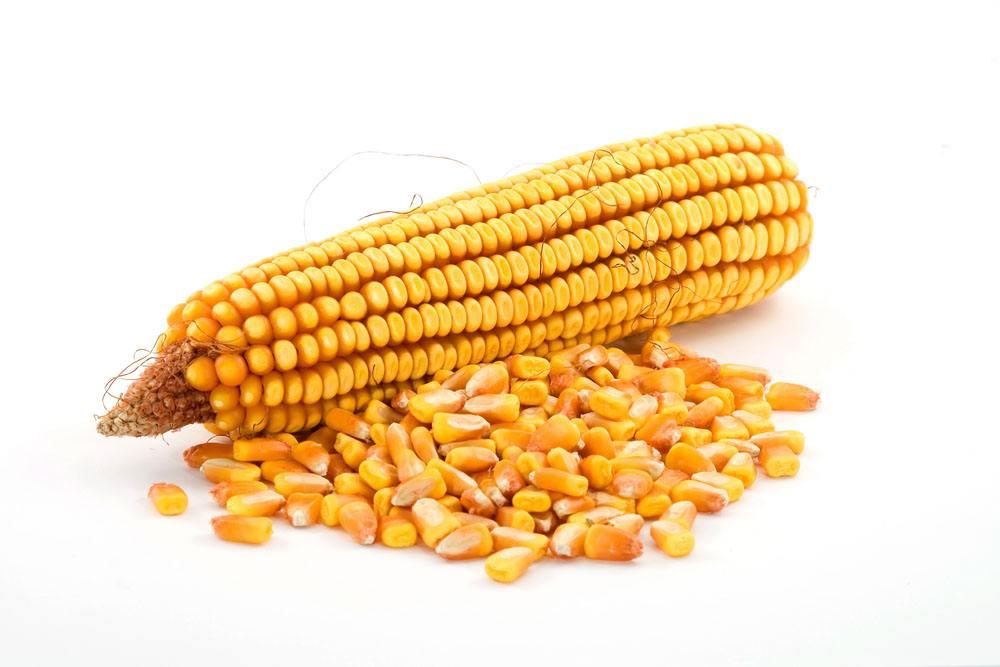 估计未来玉米价格仍然趋涨