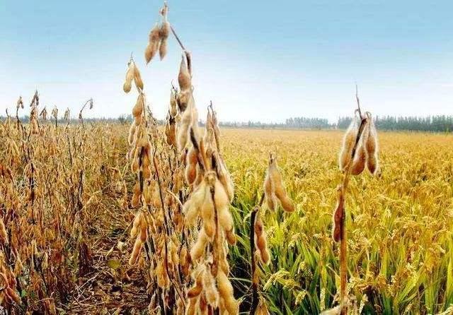 2017/18年度阿根廷大豆产量预测值降低
