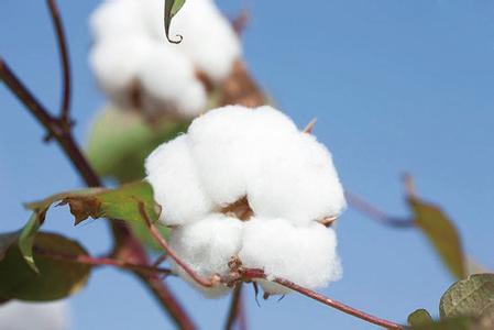 【前瞻】2018年国内棉价有望稳中趋涨
