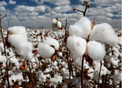 印度贸易商突然取消棉花出口 孟加拉国纱厂受挫