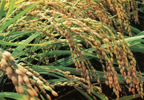 中国转基因抗虫水稻获美国食用许可
