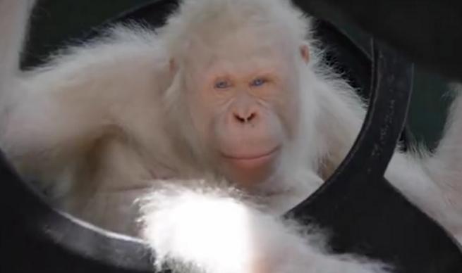 全球唯一一只白化猩猩免受猎杀 将被转移到人工森林岛
