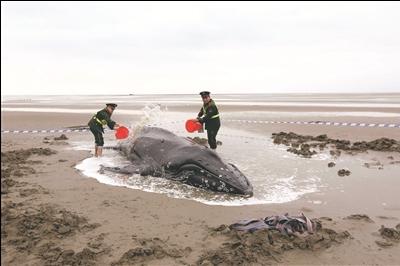 国美馆永久收藏南通边防官兵救援搁浅座头鲸摄影作品《搁浅》