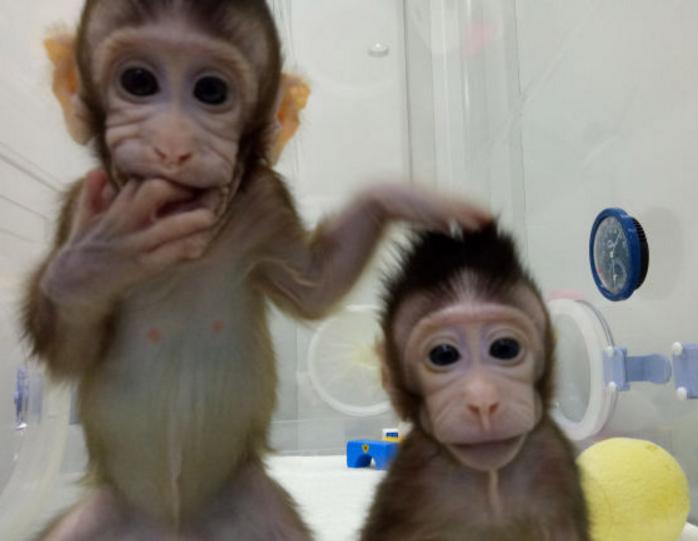两只克隆猴诞生 中国科学家成功突破克隆灵长类动物难题