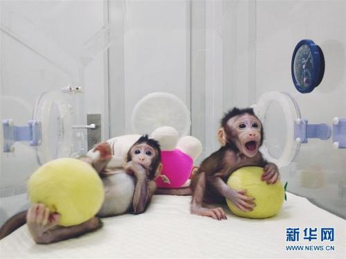 克隆猴在中国诞生 成功培育全球首个体细胞克隆猴