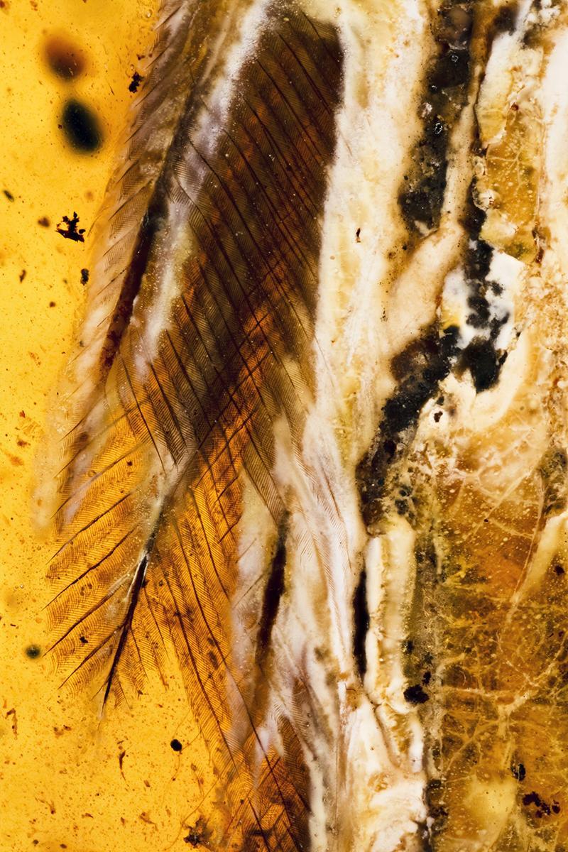 琥珀现最完整古鸟 小鸟被树脂包裹的时候还活着吗?