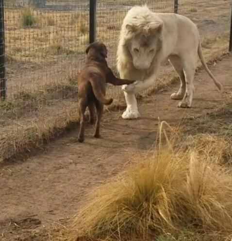 狮子与狗友好握手 多么亲密的关系啊!