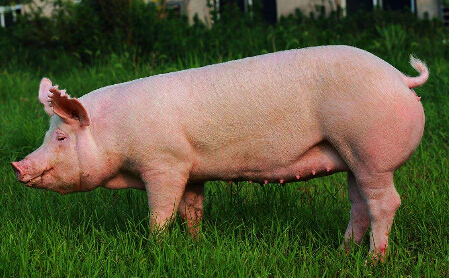 豬的品種有那些