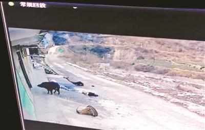 陕西一村庄发生野猪行凶事件 致1死1伤