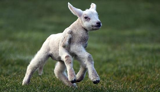 这只羊羔天生5条半腿 太罕见了!