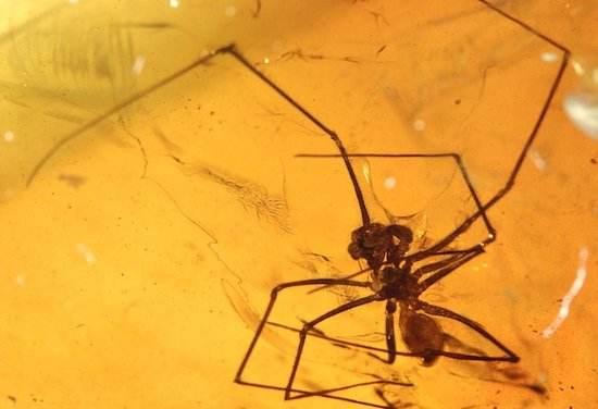 现亿年前远古蜘蛛 为蜘蛛起源演化提供关键证据
