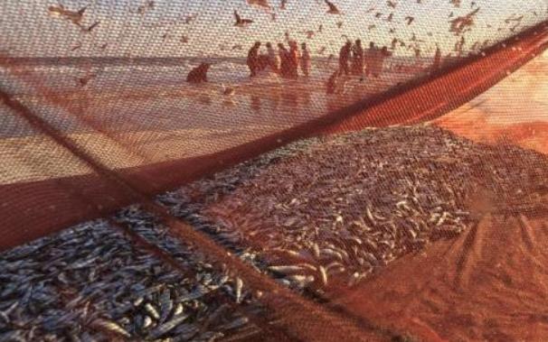 北海道大量沙丁鱼随流冰上岸 人们拿着水桶前来捡拾