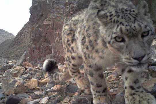 祁连山系雪豹靓照 雪豹1996年被列为濒危物种