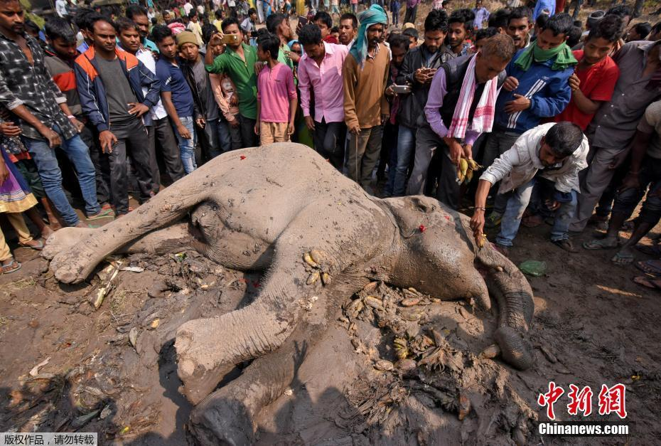 印大象被火车撞倒 兽医打针救援民众喂食