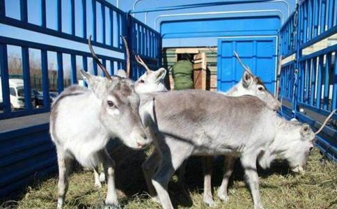 荷兰驯鹿抵内蒙古 这到底是个什么情况?
