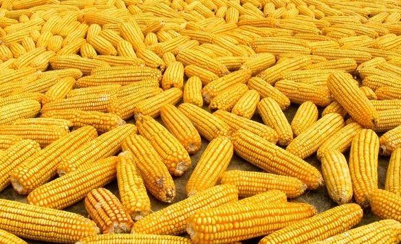 节后玉米行情走势分析:玉米价格是上涨还是回落?