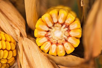 玉米现货购销平淡 期货上方压力明显