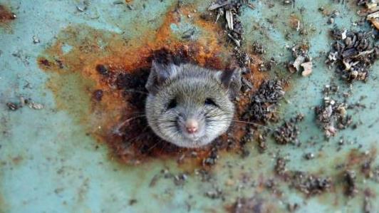 超级老鼠入侵英国 普通老鼠药根本奈何不了它!