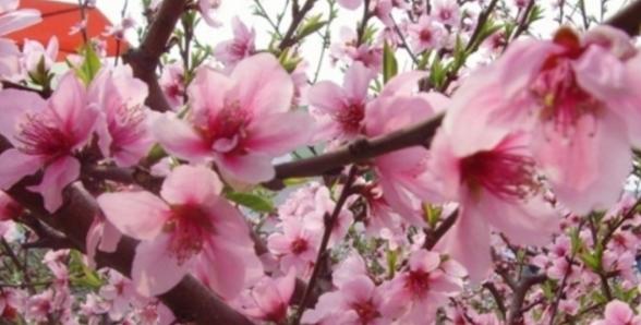 养生美容多吃什么好 试试这五种花