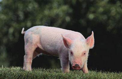 猪的品种有哪些