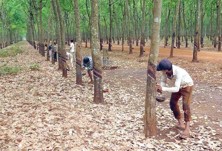 柬埔寨一月橡胶出口同比增长32%