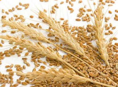 节后小麦市场销售压力加大