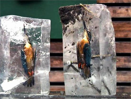两翠鸟抓鱼遭冰封 美得像艺术品