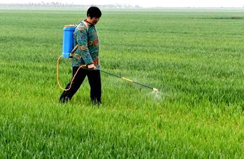 春节小麦除草时间及其常见问题解答