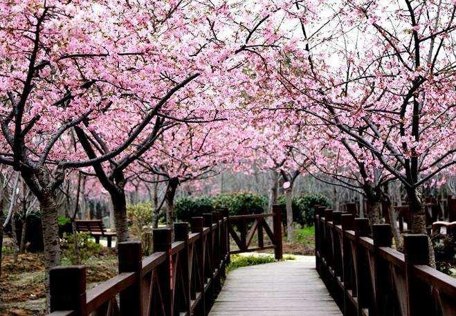 2018年上海樱花节赏花攻略
