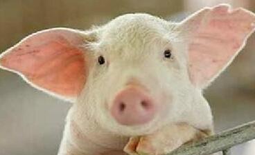 生猪价跌至四年新低 行业步入全面亏损