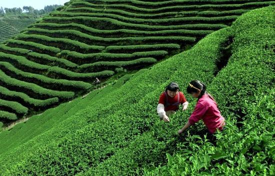 """""""清代黑茶砖""""是邛崃黑茶历史的活证物 给再多钱都不卖"""
