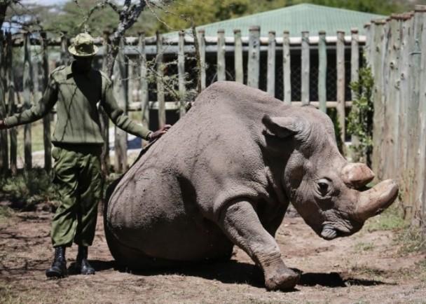 唯一雄性白犀牛逝世 已尽一切方法治疗但最终失败