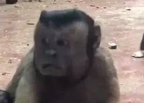 猴子藏人类灵魂 这张脸真的是好方??!