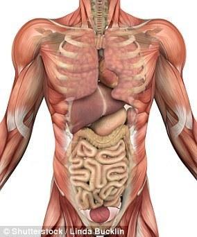 """科学家发现新器官 并发挥着""""减震器""""的作用"""